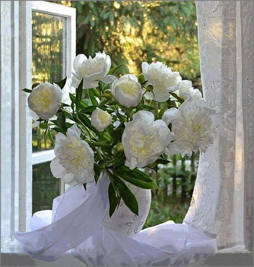 white peonies by the window