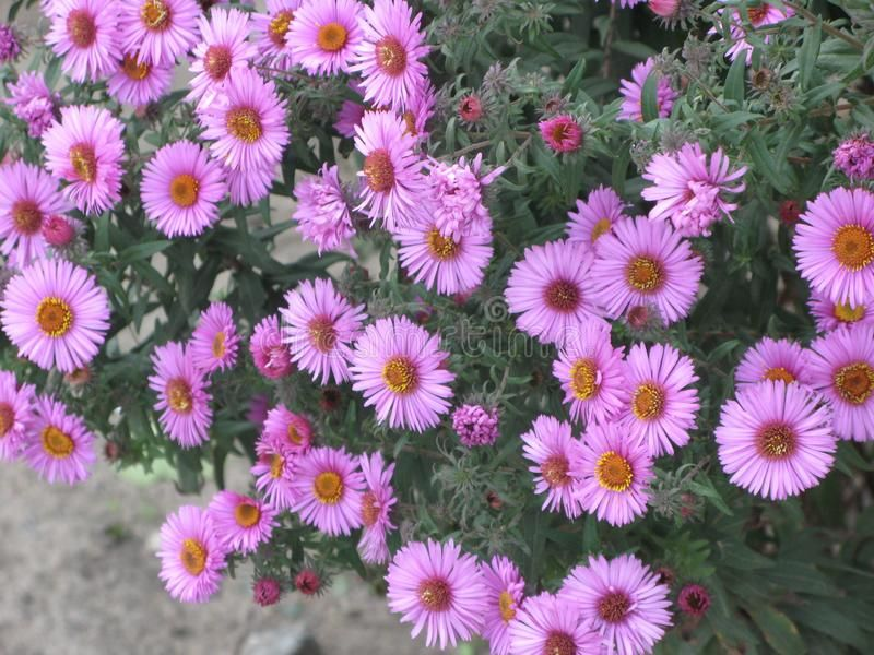 Virgin Pink Asters Pink Virgin Asters Flowers On The Small Bush In The Autumn G Ad Pink Virgin Asters Virgin Aster Flower Flower Beds Autumn Garden