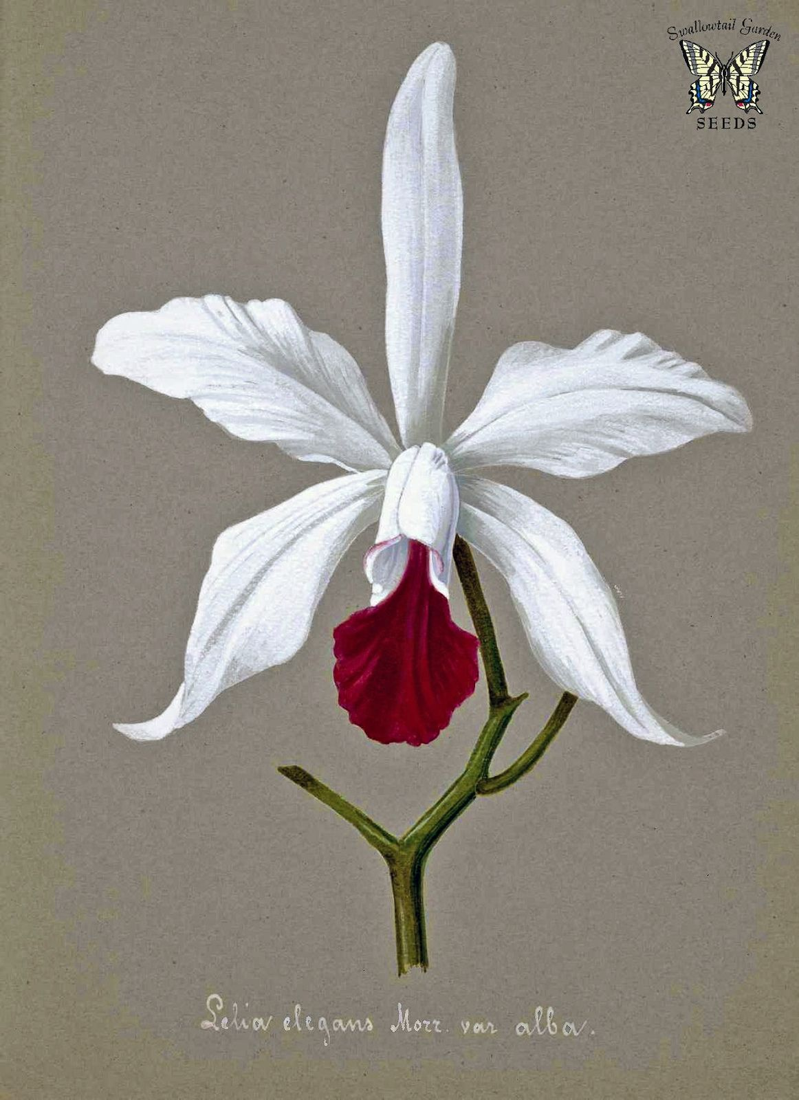 Elegant Cattleya Orchid Orchid Illustration Orchid Drawing Botanical Flowers