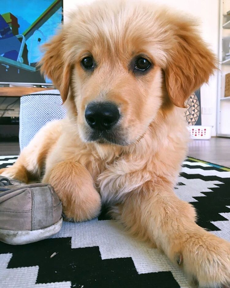 Sonny The Golden Cute Dogs Puppies Cute Puppies Dogs