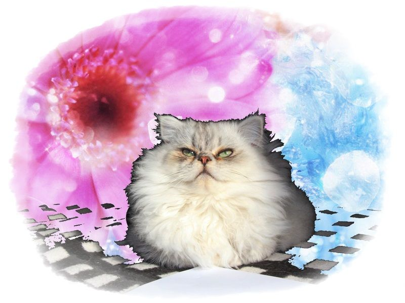 Educar-a-tu-gato-persa.jpg (800×600)