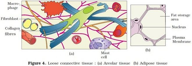 Areolar Tissue Diagram Google Search Anatomy Pinterest Diagram