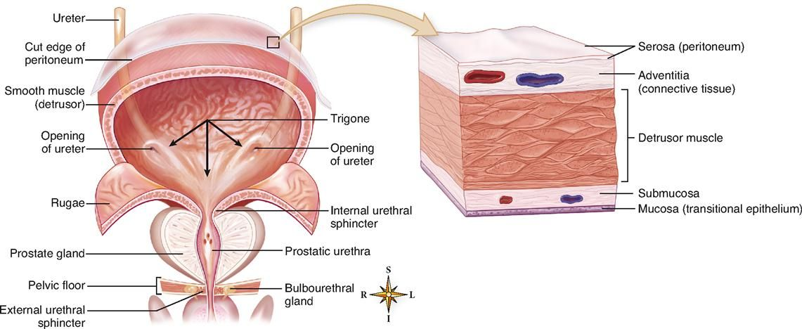 Httpheritanceanatomy Of Urinary Bladder Wallanatomy Of