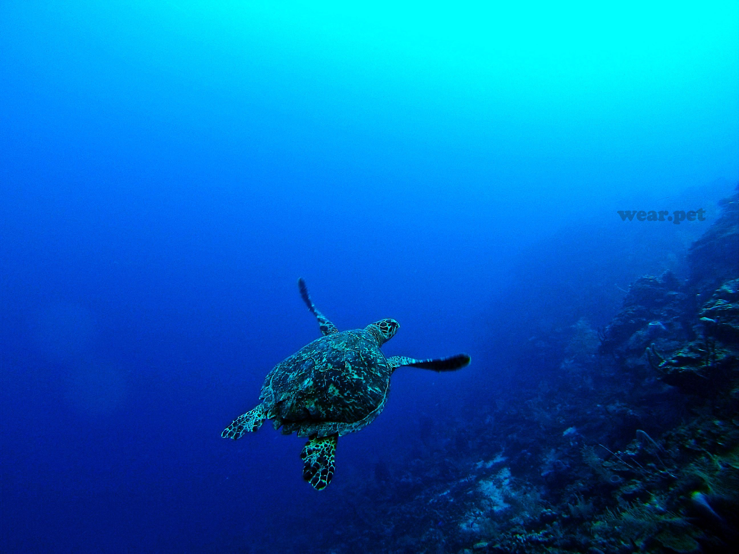 Credit Erin Simmons Roatan Honduras Turtle Sea Photo Underwater Photography Animal Honduras Ocean Animals Love Tortoise Wild Animals Pictures Turtle Animals