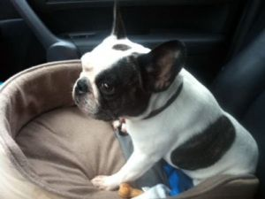 Dorothy French Bulldog Dog Aberdeen Oh French Bulldog Dogs
