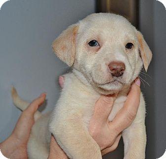 Mechanicsburg Pa Westie West Highland White Terrier Australian Shepherd Mix Meet Millie A Puppy Puppy Adoption Kitten Adoption West Highland White Terrier