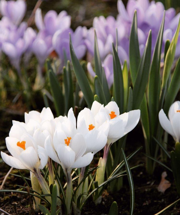 Gelb Weiss Violett Der Krokus Crocus Sieberi Tricolor Vereint
