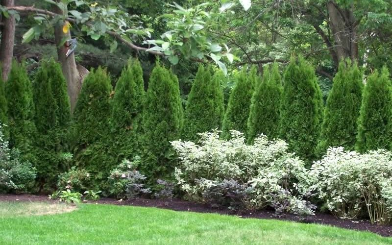 Emerald green arborvitae near street as privacy fence with for Arborvitae garden designs