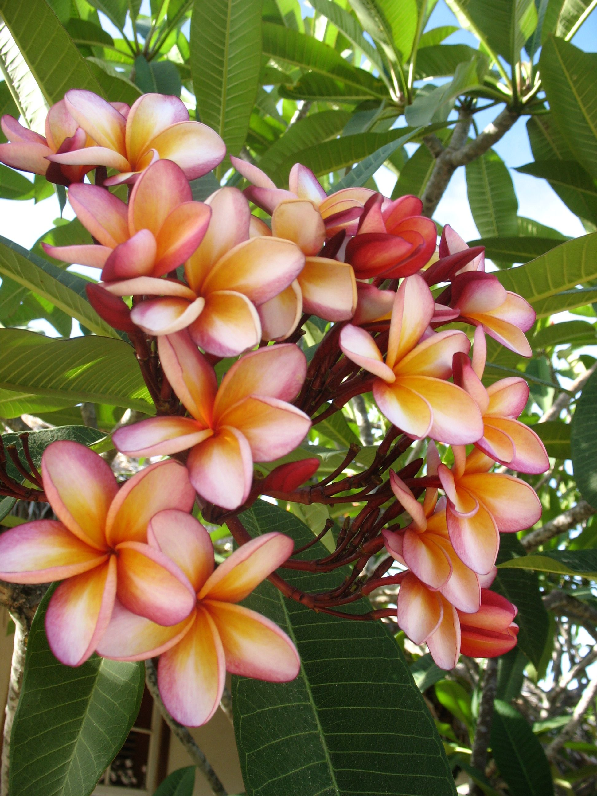 Plumeria/ kalachuchi, I remember waking up early in the