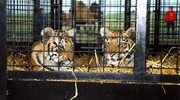 Two circus tigers lying in cage. © Captive Animals