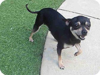 Raleigh Nc Chihuahua Mix Meet Jack Dawson A Dog For Adoption