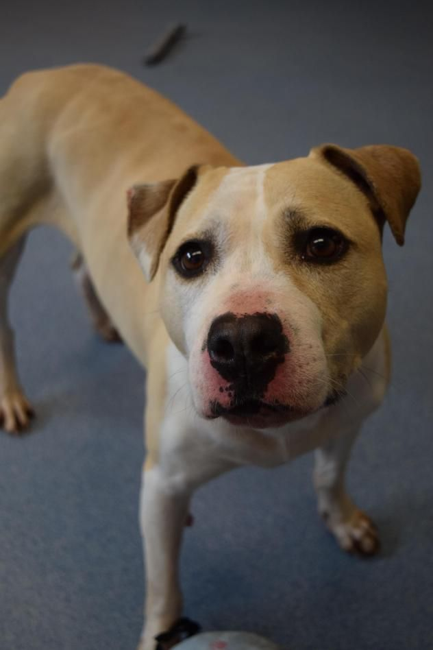 Adopt Lilac On Pets Dog Adoption Pitbull Terrier