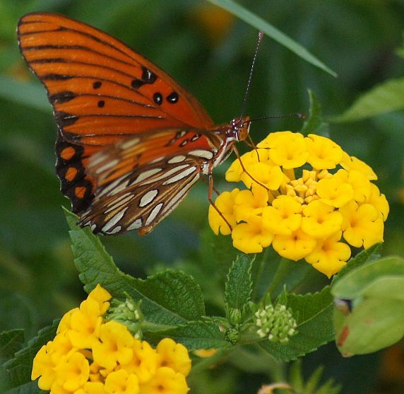 Lantana's and Butterflies !