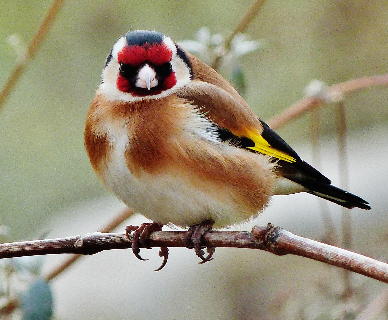Chardonneret les oiseaux du jardin pinterest for Oiseaux de nos jardins en belgique