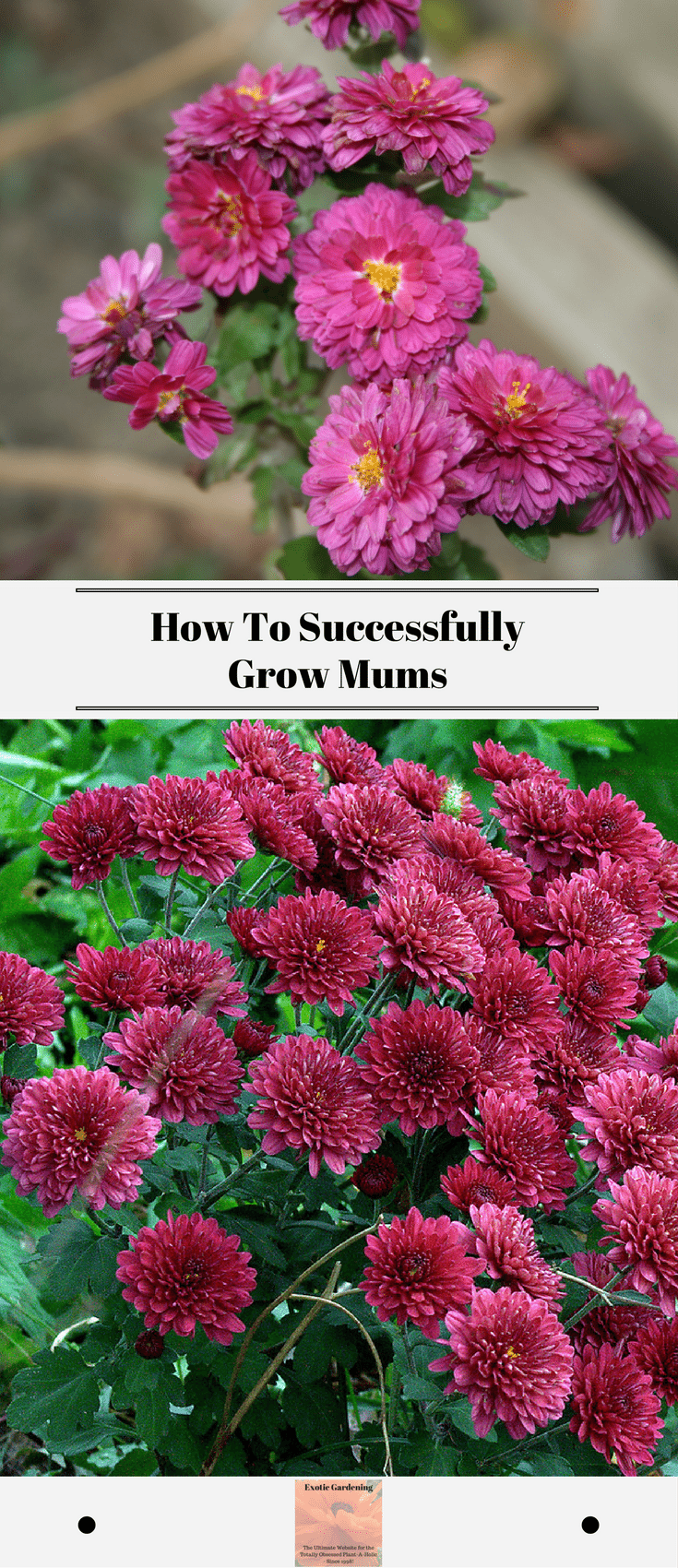 Chrysanthemums commonly referred to as mums are a beautiful fall chrysanthemums commonly referred to as mums are a beautiful fall blooming plant check out these tips to successfully grow mums exotic gardening izmirmasajfo