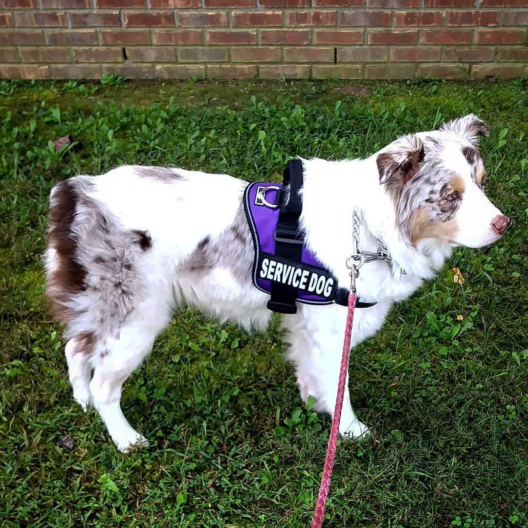 My Service Dog Paisley Dawn Red Merle Australian Shepherd