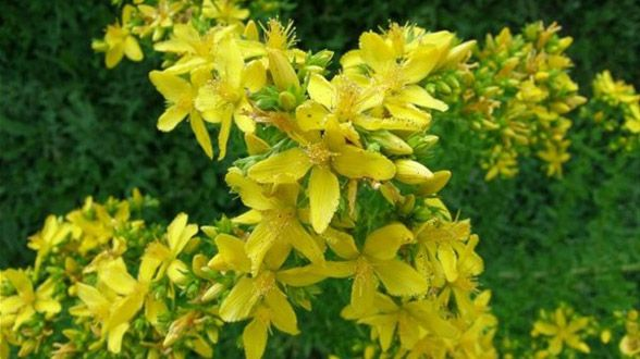 St johns wort cantarion is a perennial herb with yellow flowers st johns wort cantarion is a perennial herb with yellow flowers growing around mightylinksfo