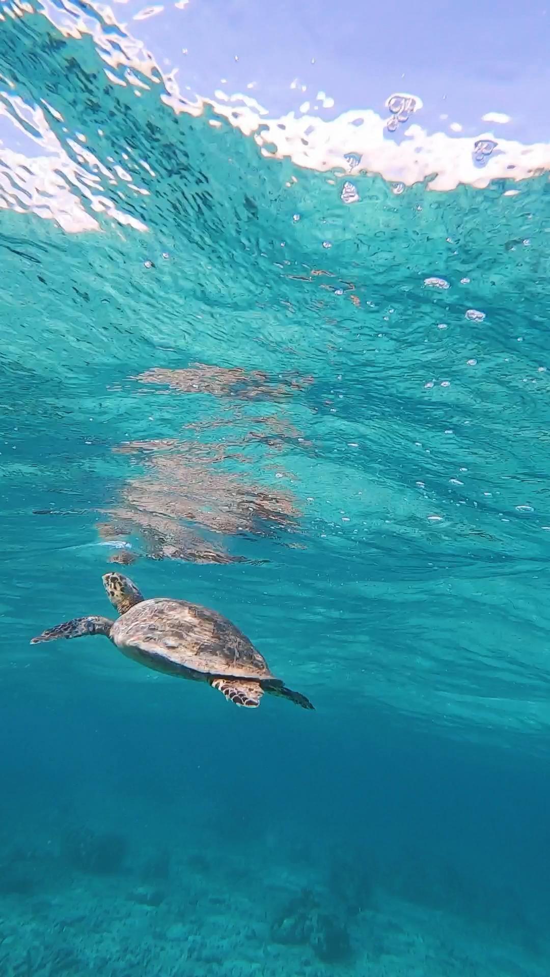 Turtle at Six Senses Laamu Maldives