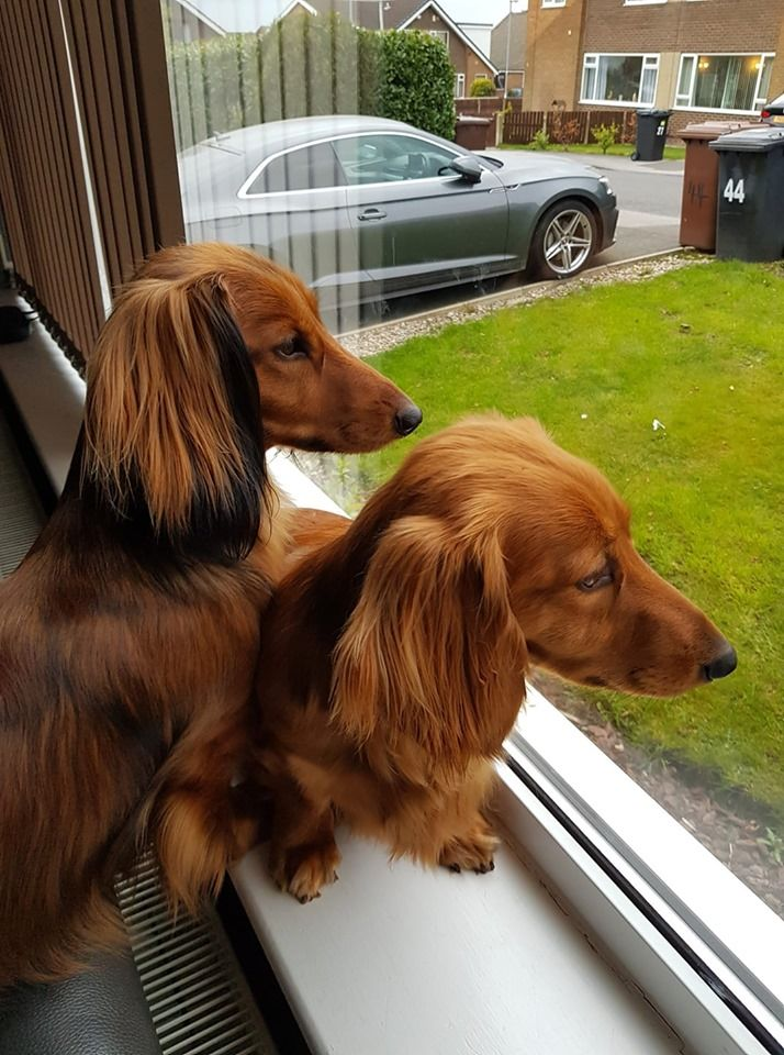 Pin By Tony West On Animals Dachshund Puppies Weenie Dogs Red