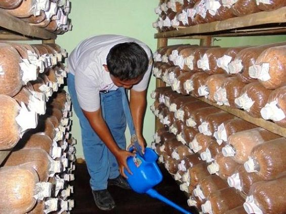 Cara Budidaya Jamur Tiram Di Rumah Untuk Pemula Jamur