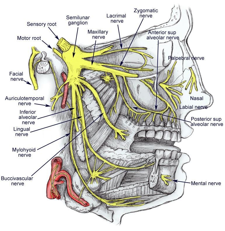 Diagram Of The Trigeminal Nerve With Its 3 Main Branches