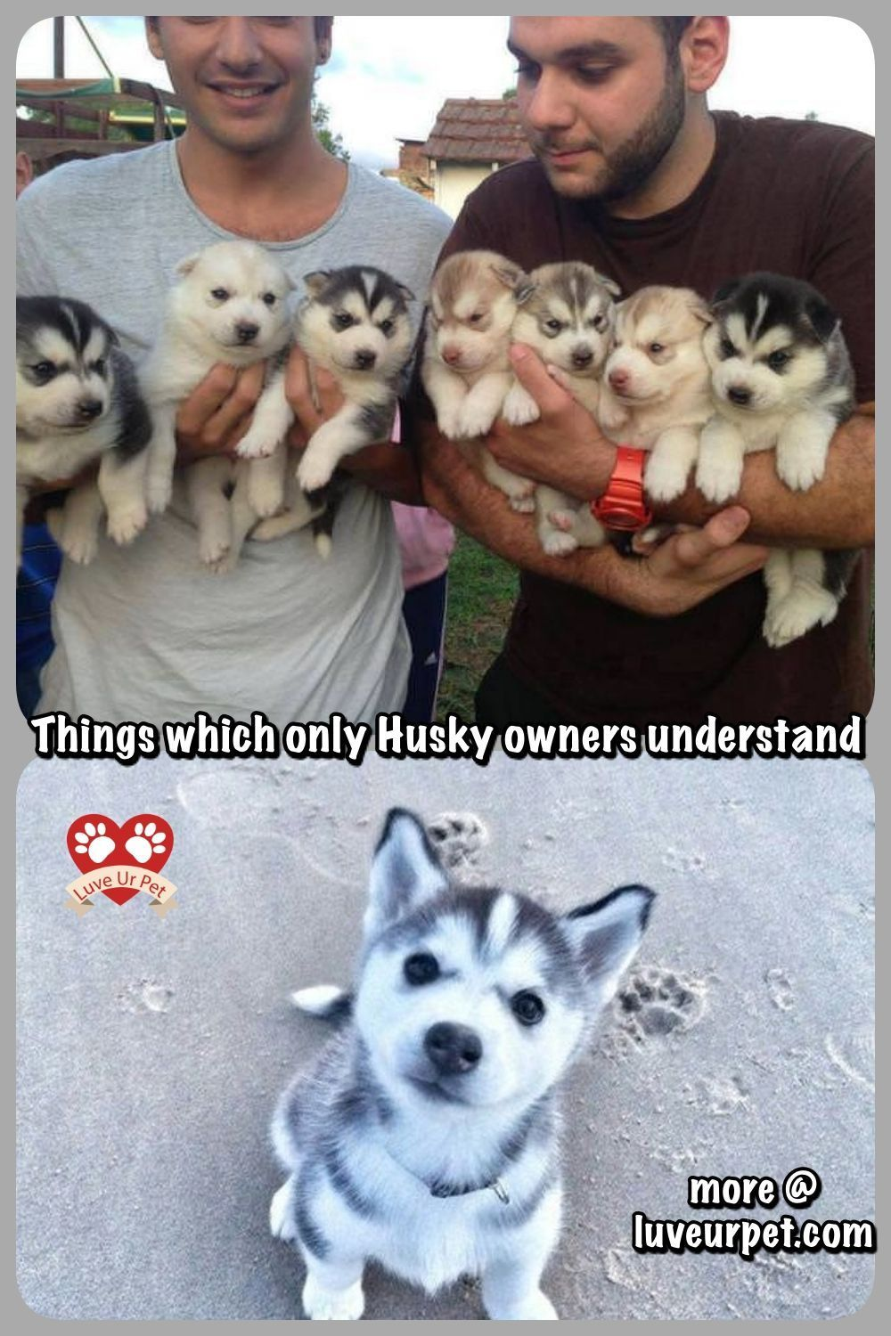 Things Which Only Husky Owners Understand Husky Huskies Dogs