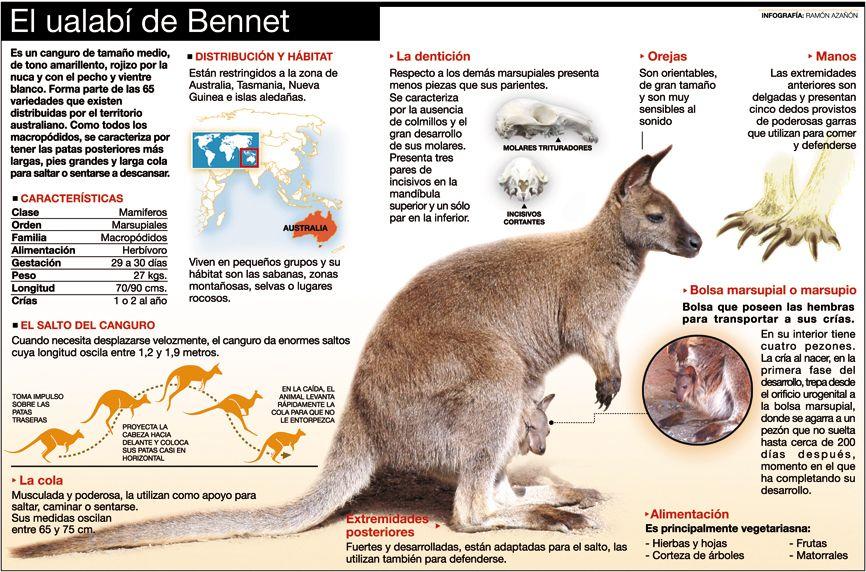Ualabi Y Sus Características Canguros Marsupiales Tasmania