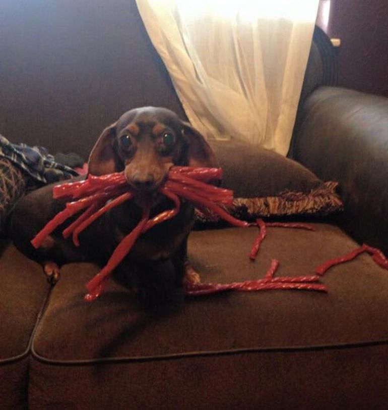 You Picked A Vine Time To Come Home Early Funny Dachshund