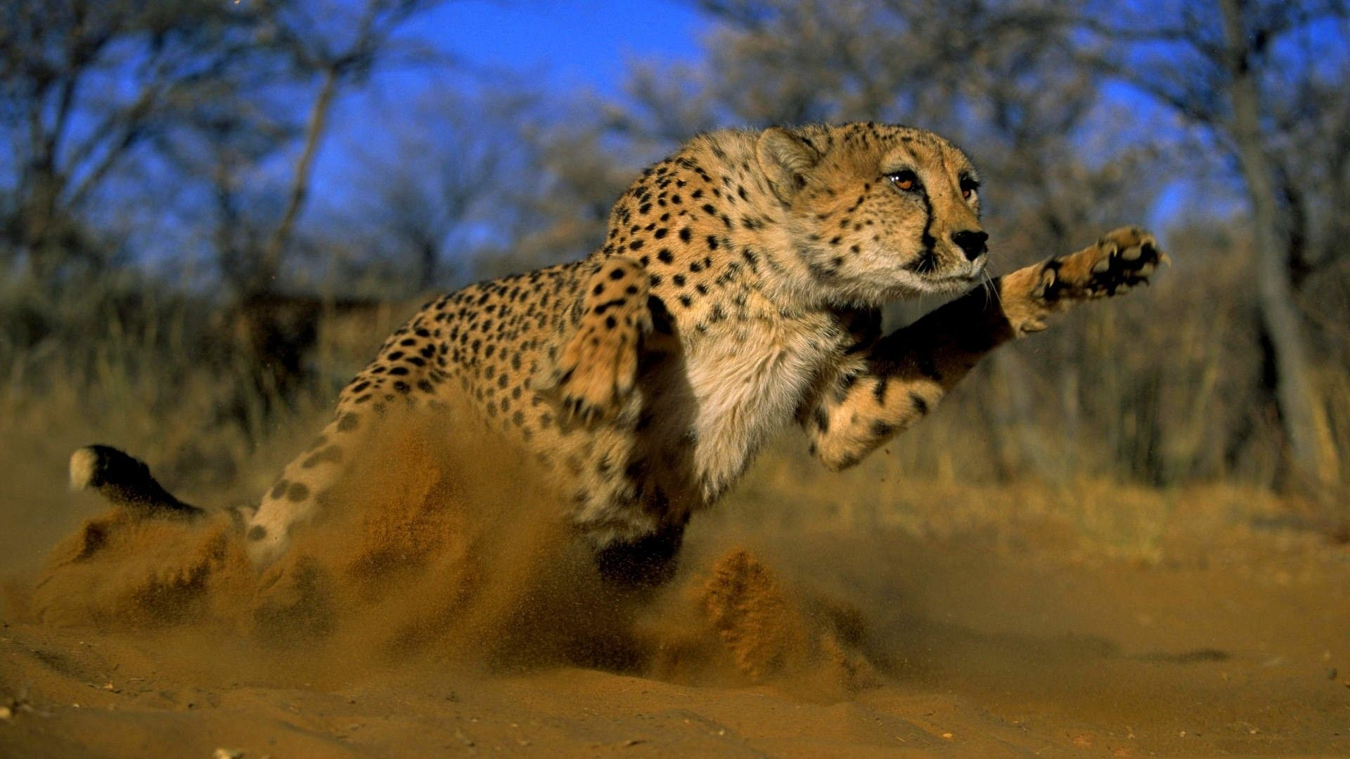 Running Cheetah Running Hd Wallpapers Smashing Hd Wallpapers