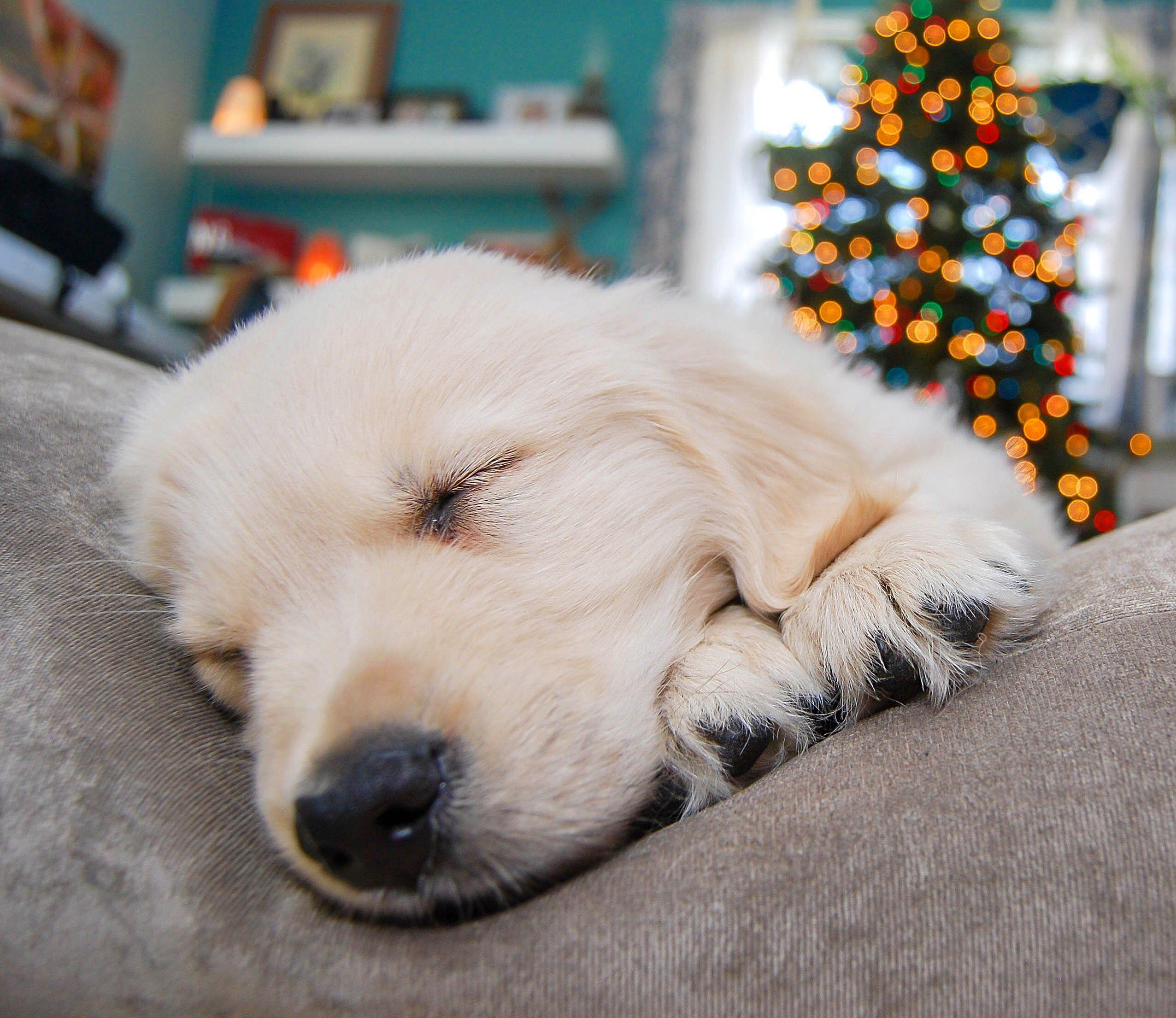 Merry Christmas From Golden Retriever Puppy Jasper The Friendly