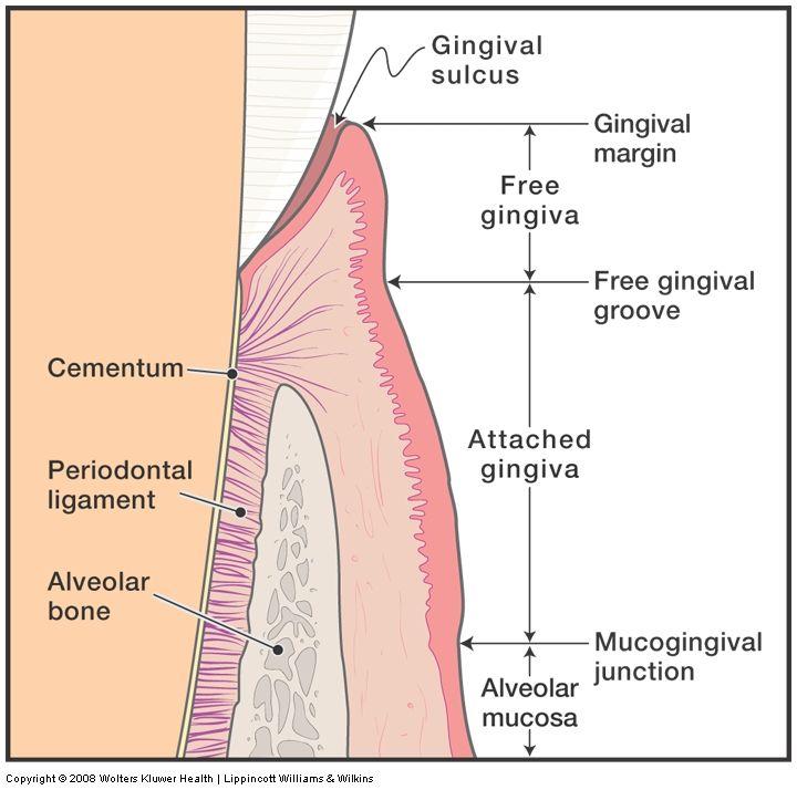 Image result for keratinized tissue Dental Pinterest