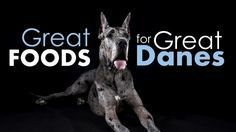 """Asking """"What's the best dog food for Great Danes?"""" is kind of like asking, """"How many ping pong balls does it take to fill a swimming pool?"""" If you're a Great Dane owner, you know that these gentle giants are very, very good at packing away the calories. And that makes sense right? This is …"""
