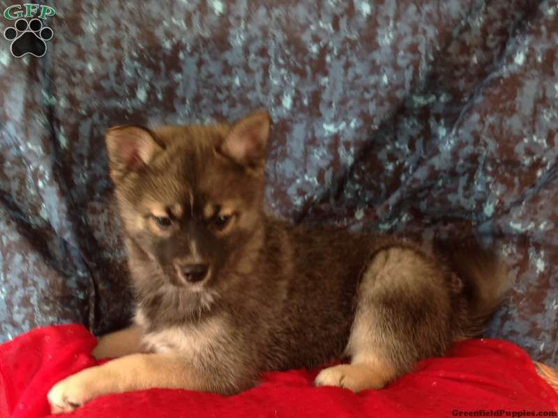 Sammy, Pomsky puppy for sale Fresno, OH Pomsky puppies