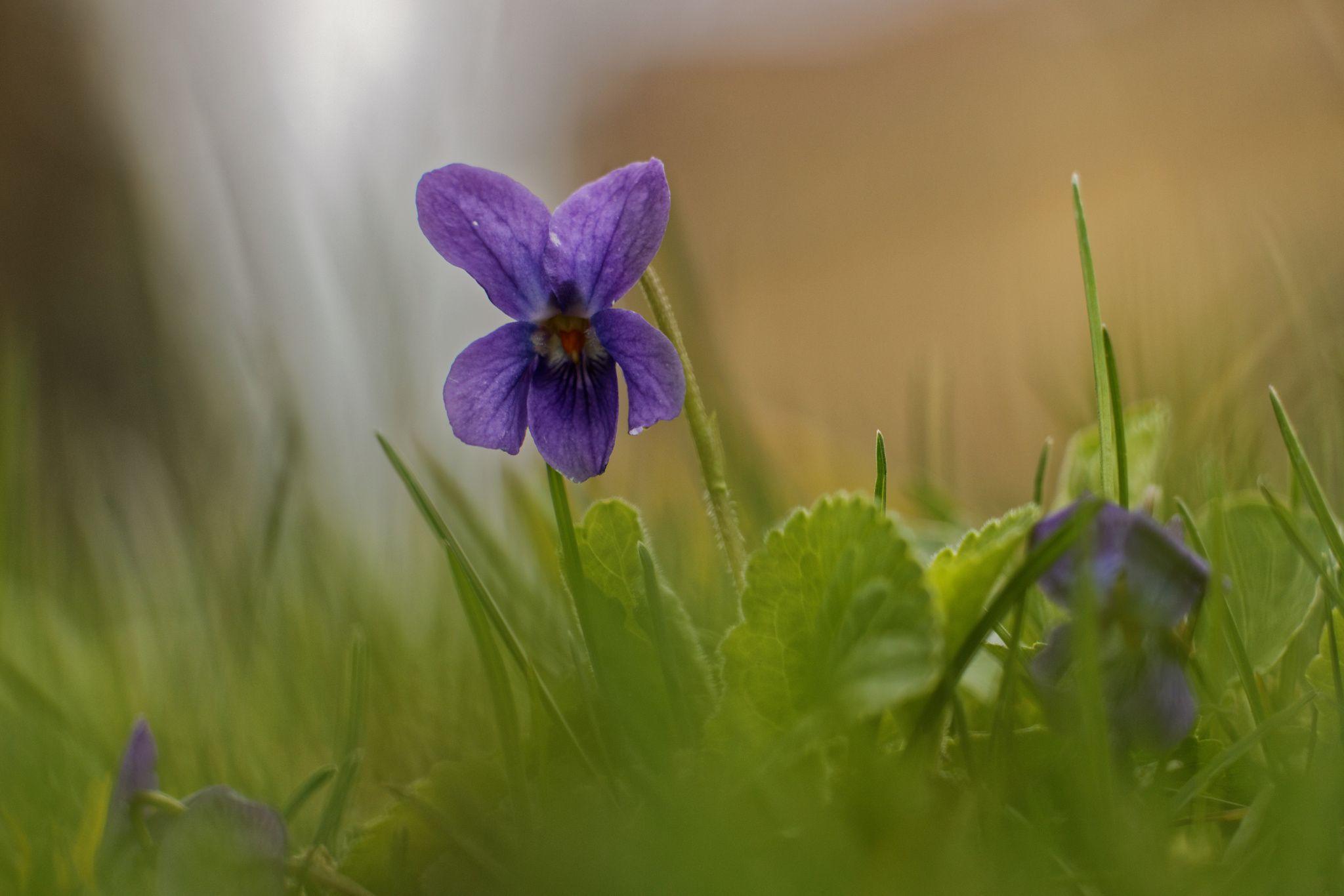 Photo jolie violette de mon jardin. by Louisette Kistner on 500px