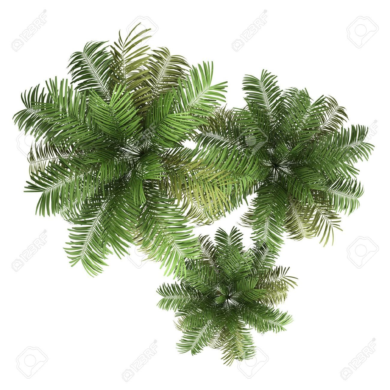 Top view plants 02 2d plant entourage for architecture - Plants Top View Top View Of Three Areca Palm Trees Isolated On White Background