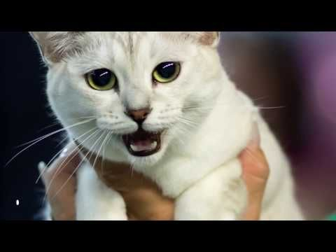 From The Adorable British Shorthair To The Beautiful Turkish Angora