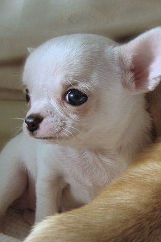 White Chi Baby Cute Chihuahua Chihuahua Love Chihuahua Lover