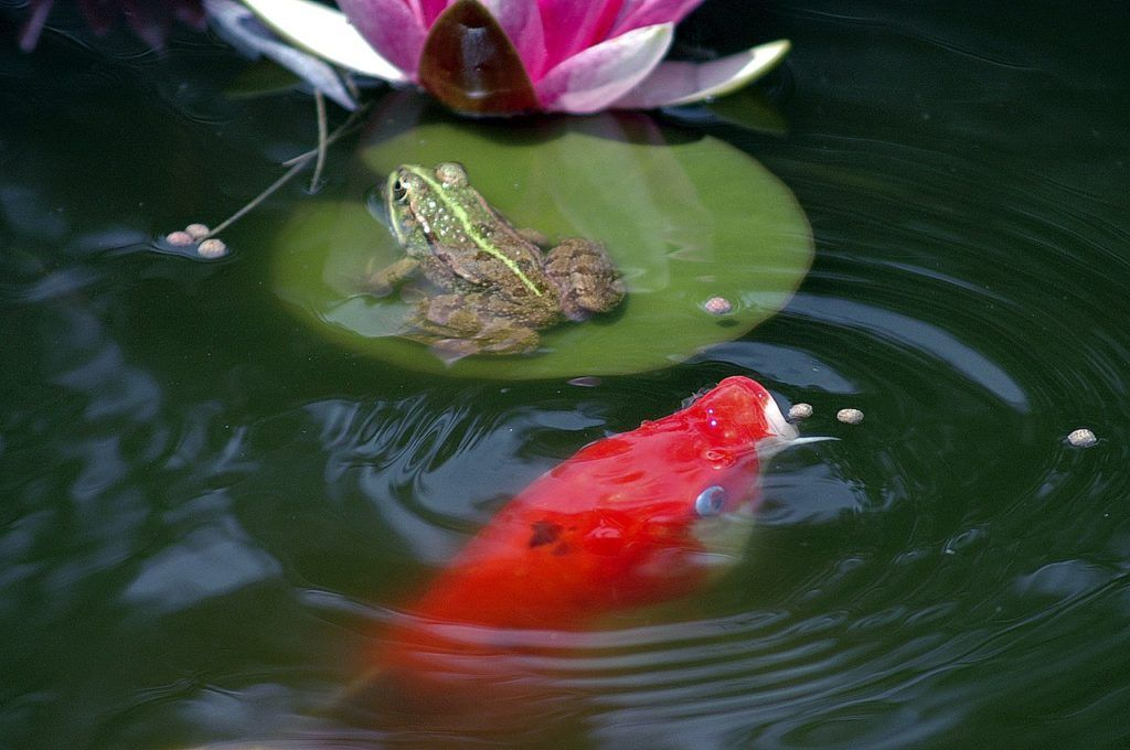 Fall Maintenance Tips For Outdoor Ponds Outdoor Ponds Pond Water Features Pond Covers