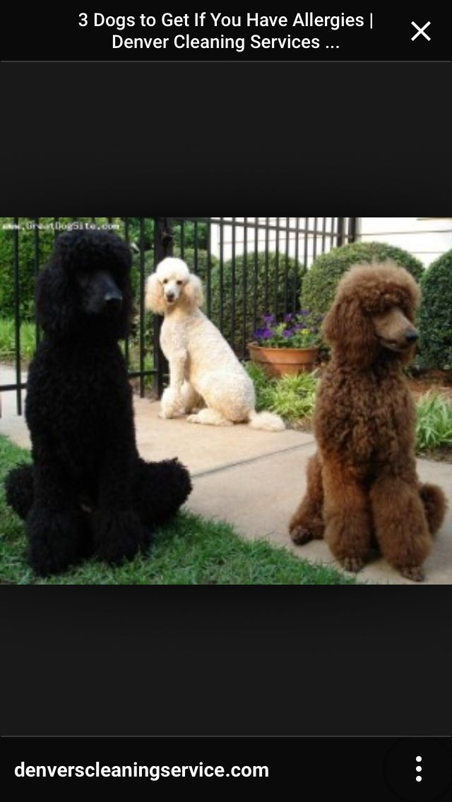 3 Big Babies Cute Dogs Dog Breeds Red Poodles