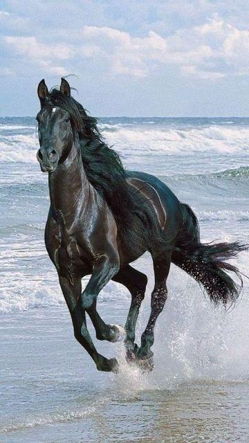 Un Cheval Noir Au Galop Cheval Galop Beaux Chevaux Et Chevaus Sauvages