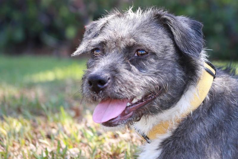 Adopt Paramore On Dogs Schnauzer Dogs Schnauzer Mix