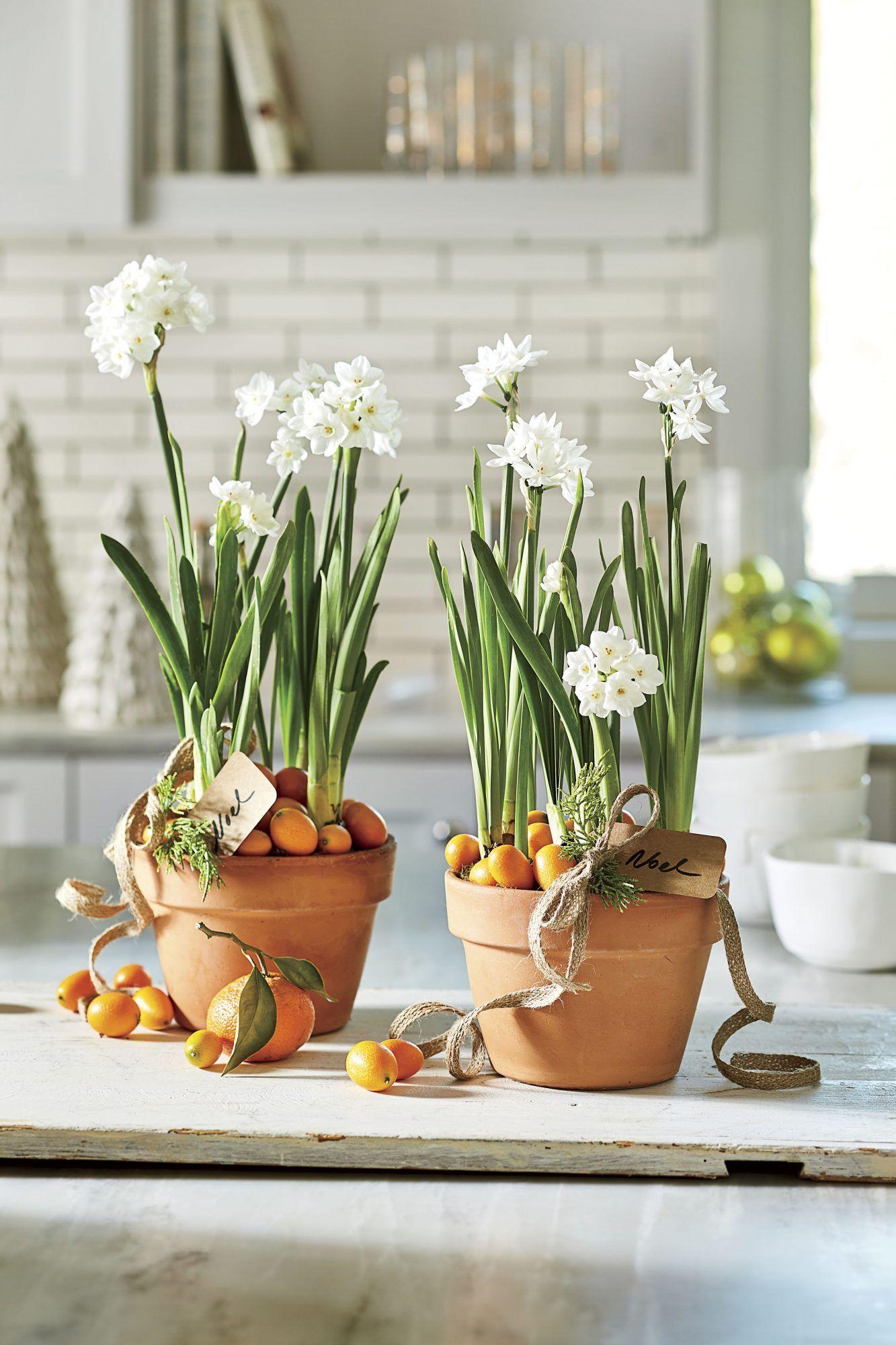 christmas flower bulbs plants
