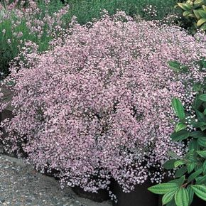 Gypsophila Pacifica Baby S Breath Plant Urban Garden Plants
