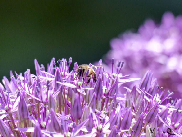 Zierlauch Mit Biene