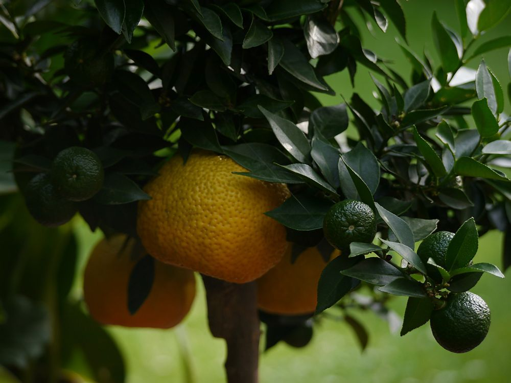 Chinotto (Citrus myrtifolia)