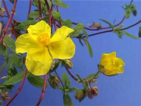 Bach Flower Remedies Rock Rose Bach Flower Remedies Flower Remedy Bach Flowers