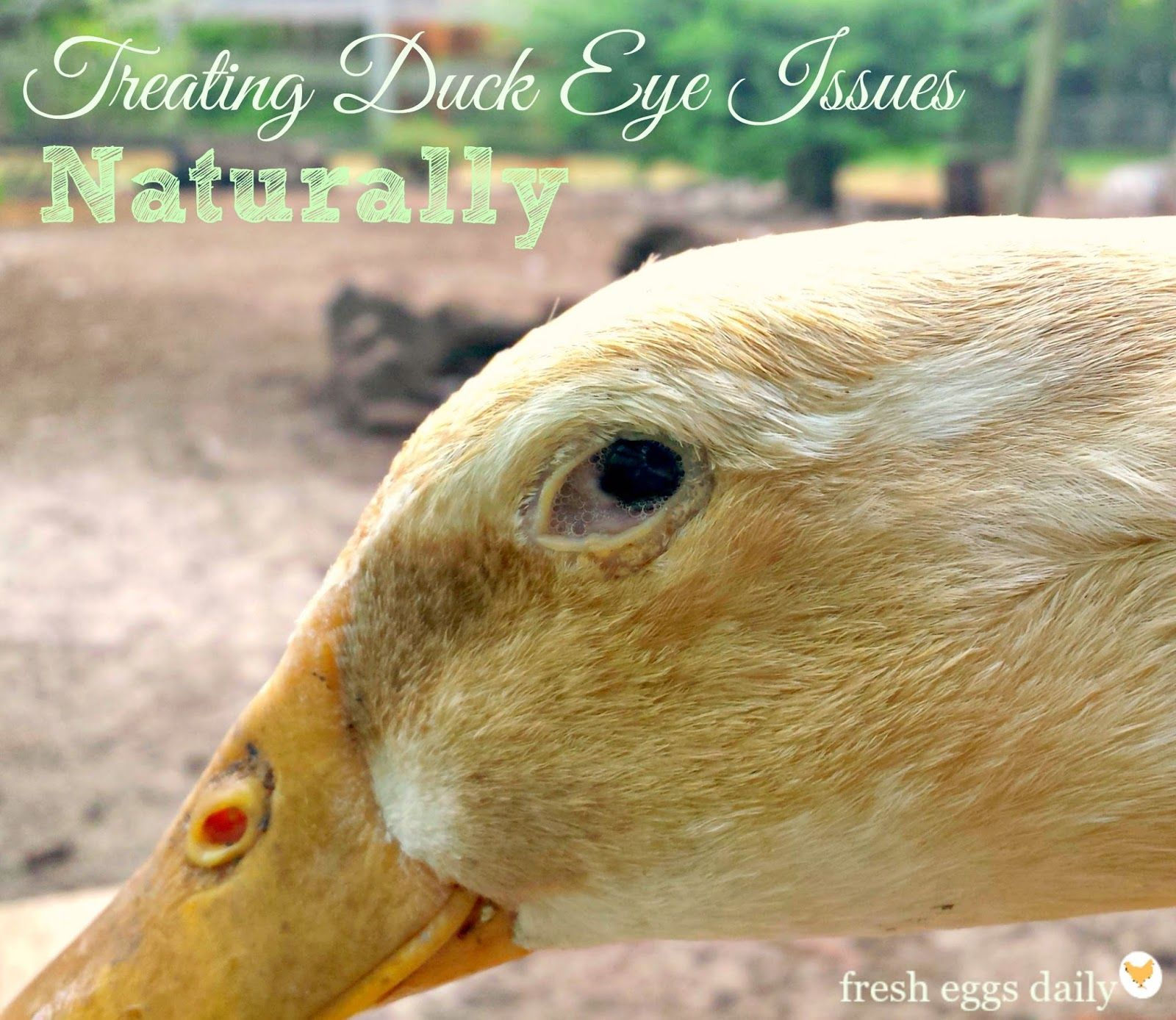 treating foamy eye and sinus issues in ducks naturally fresh