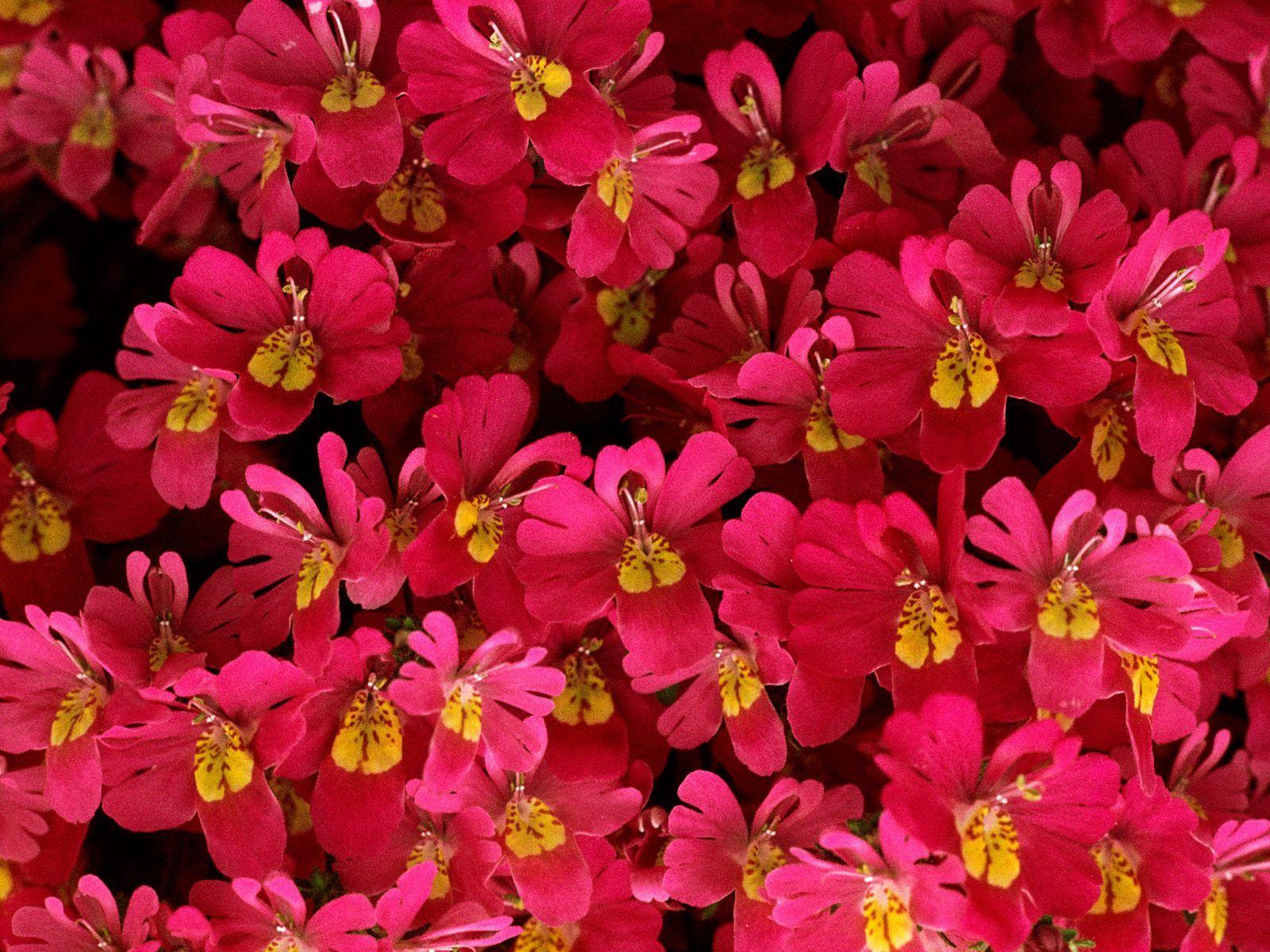 Impatiens Flowers - http://imashon.com/w/impatiens-flowers.html