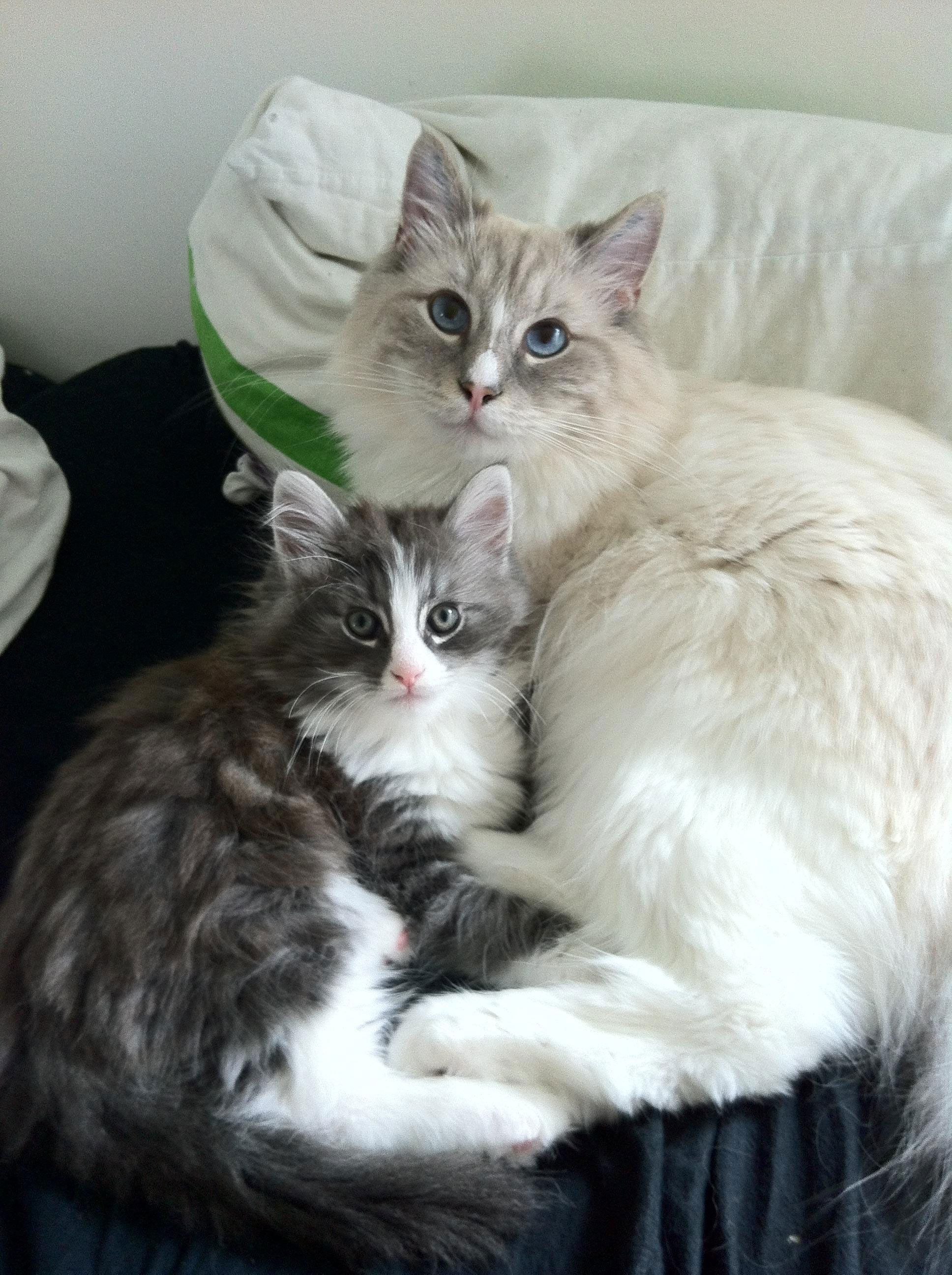 The Story Of Tom A Beautiful Half Ragdoll And Half Norwegian Forest Cat Norwegian Forest Cat In 2020 Norwegian Forest Cat Norwegian Forest Cat Breeders Forest Cat