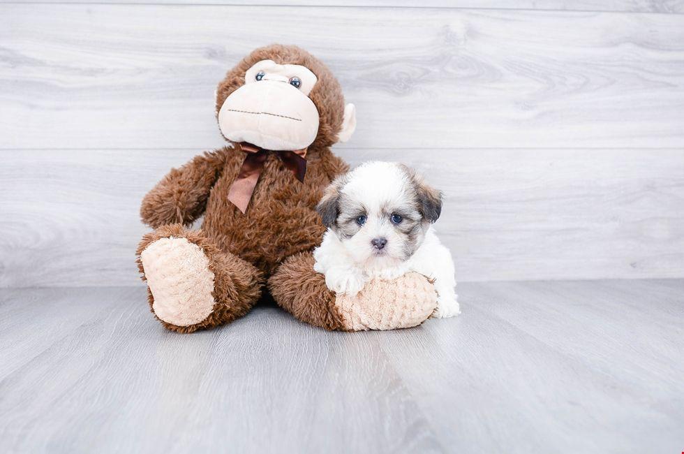 Teddy Bear Puppies for Sale Ohio Zuchon Pups Online